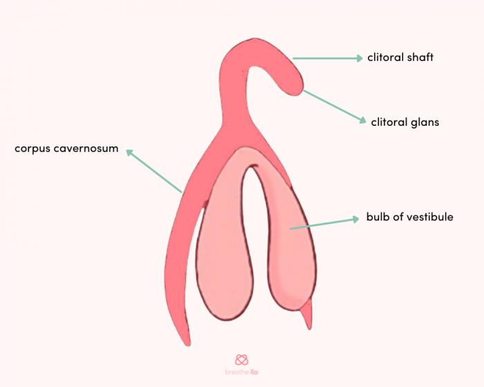Function of the uterus